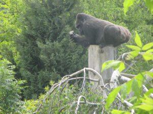 Le gorille qui est assis sur le poteau !!